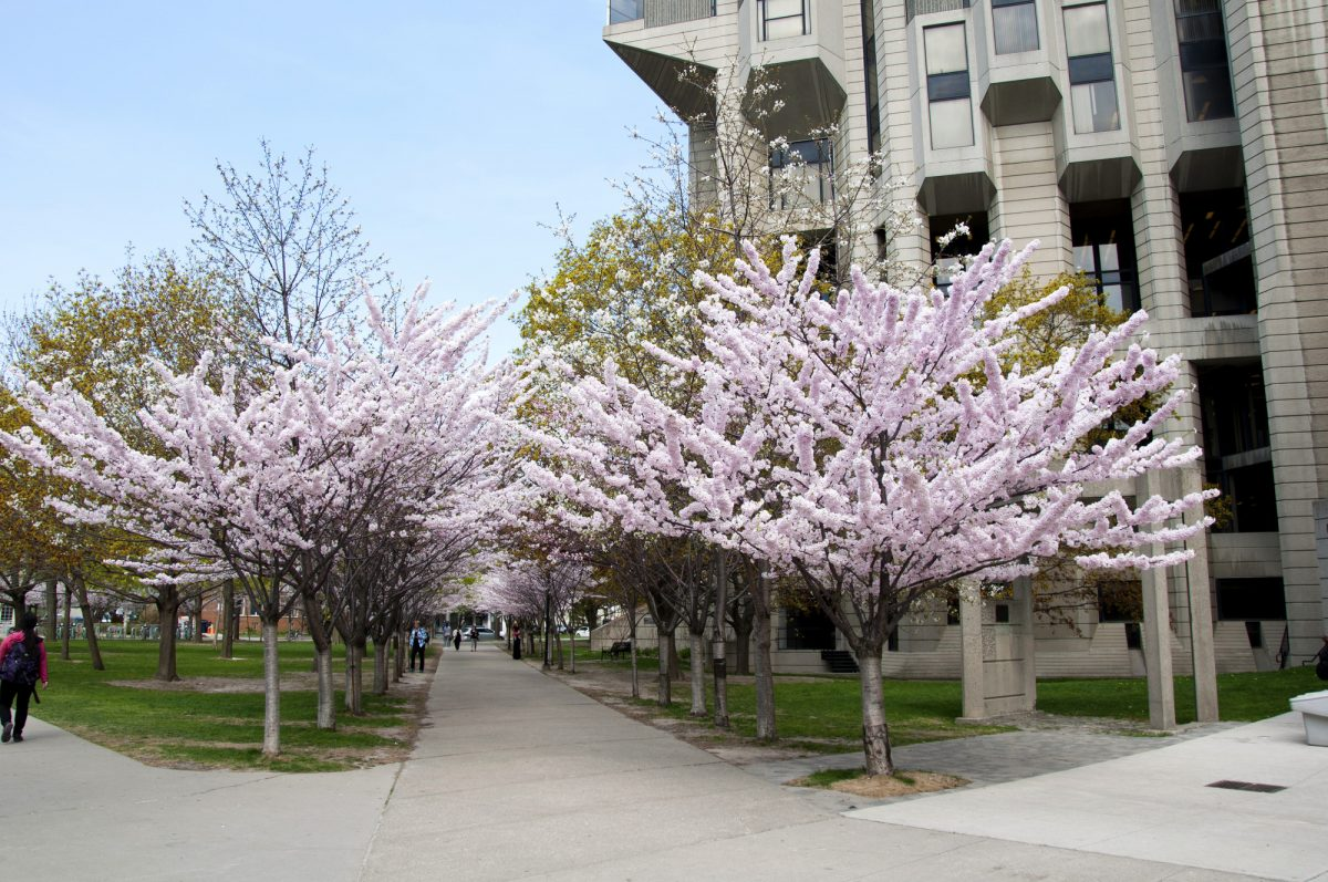 Pathway lined by cherry trees near Robarts Library.